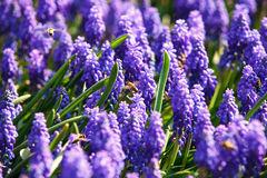 bees-spring-flowers-violet-muscari-39850138